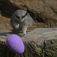 Easter surprise for meerkats at ZSL London Zoo