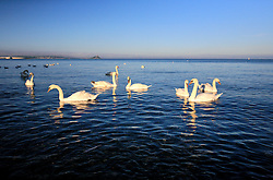 UK CORNWALL NEWLYN 9JUN08 - Swans at the beach near Newlyn harbour in Cornwall, western England...jre/Photo by Jiri Rezac / WWF UK..© Jiri Rezac 2008..Contact: +44 (0) 7050 110 417.Mobile:  +44 (0) 7801 337 683.Office:  +44 (0) 20 8968 9635..Email:   jiri@jirirezac.com.Web:    www.jirirezac.com..© All images Jiri Rezac 2008 - All rights reserved.