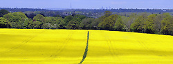 © Licensed to London News Pictures. 11/05/2012.Sunny rapeseed field in Chelsfield, Kent..A clear view today 11.05.2012 of the Shard and London skyline from Chelsfield Village in Kent which is over 15 miles away..Photo credit : Grant Falvey/LNP