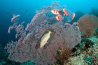 A Slender Grouper and several Bigeyes take cover against a large Sea Fan.<br /> <br /> Shot in Indonesia
