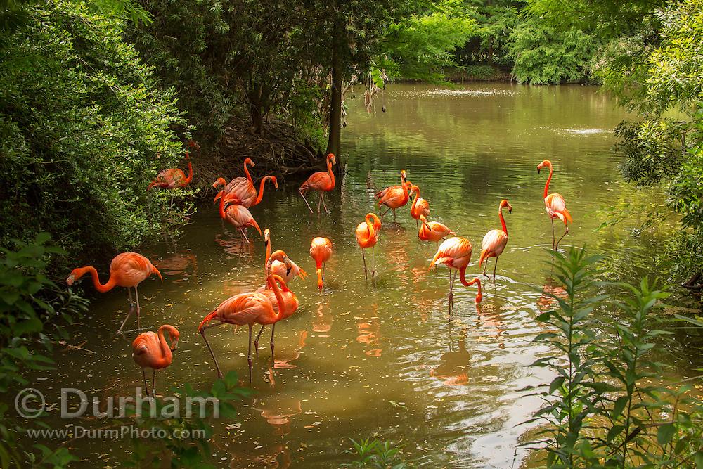 A lagoon with American flamingos (Phoenicopterus ruber), Florida.