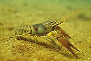 Rusty Crayfish, Underwater