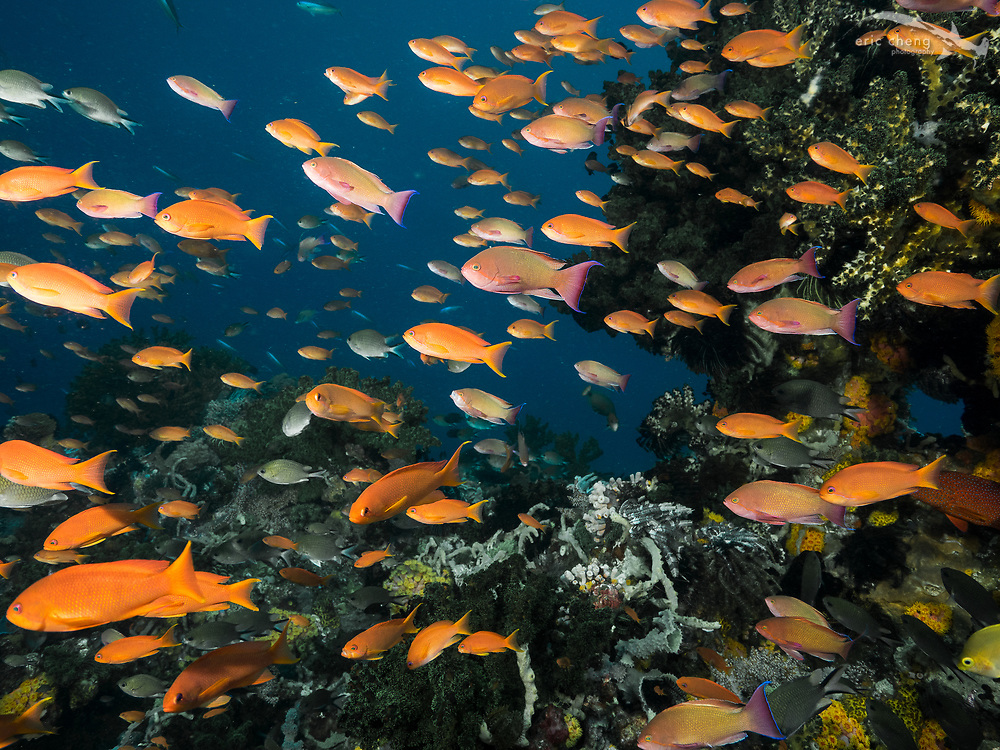 A colorful school of scalefin anthias (Pseudanthias squamipinnis). Cannibal Rock, Horseshoe Bay, Komodo National Park, Indonesia.