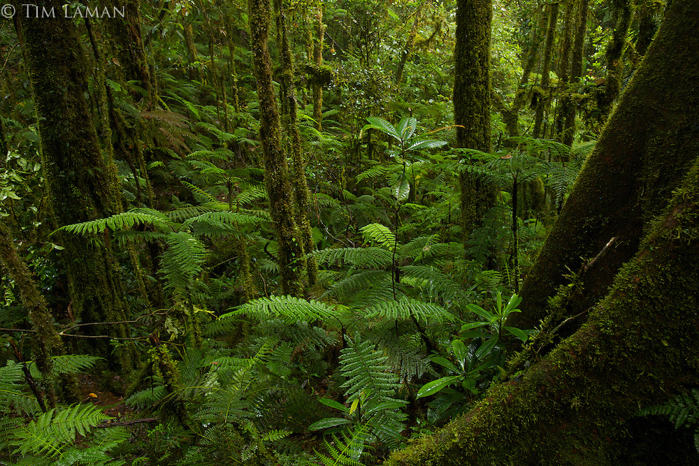Dense ferns fill a gully in the montane forest at 1800 m in the Foja Mts.