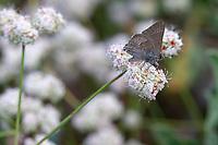 Satyrium tetra (Mountain Mahogany Hairstreak) ♂ at Grizzly Flat, Los Angeles Co, CA, USA, on California buckwheat 07-Jul-18