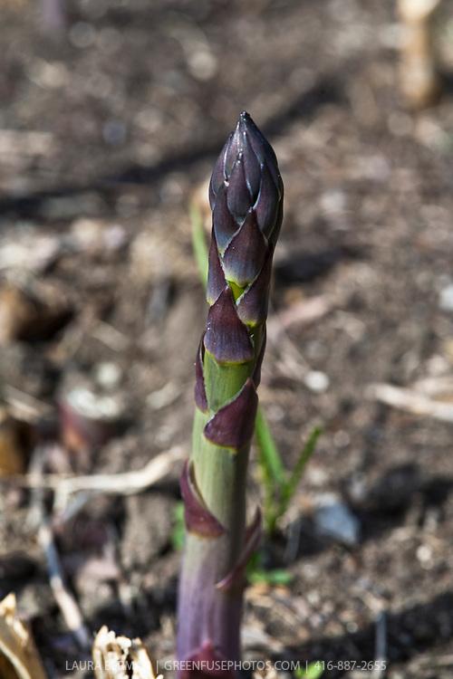 Asparagus spears breaking through the ground in the spring garden.