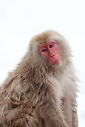 Snow monkey, pensive expression