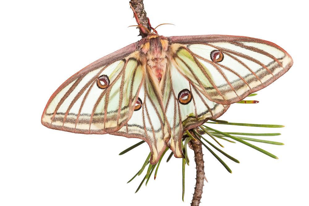 Female Isabelline moth, Spanish luna moth, Graellsia isabelae, Queyras; Alpes de Haute-Provence; France<br /> upland alpine mountain pine forest