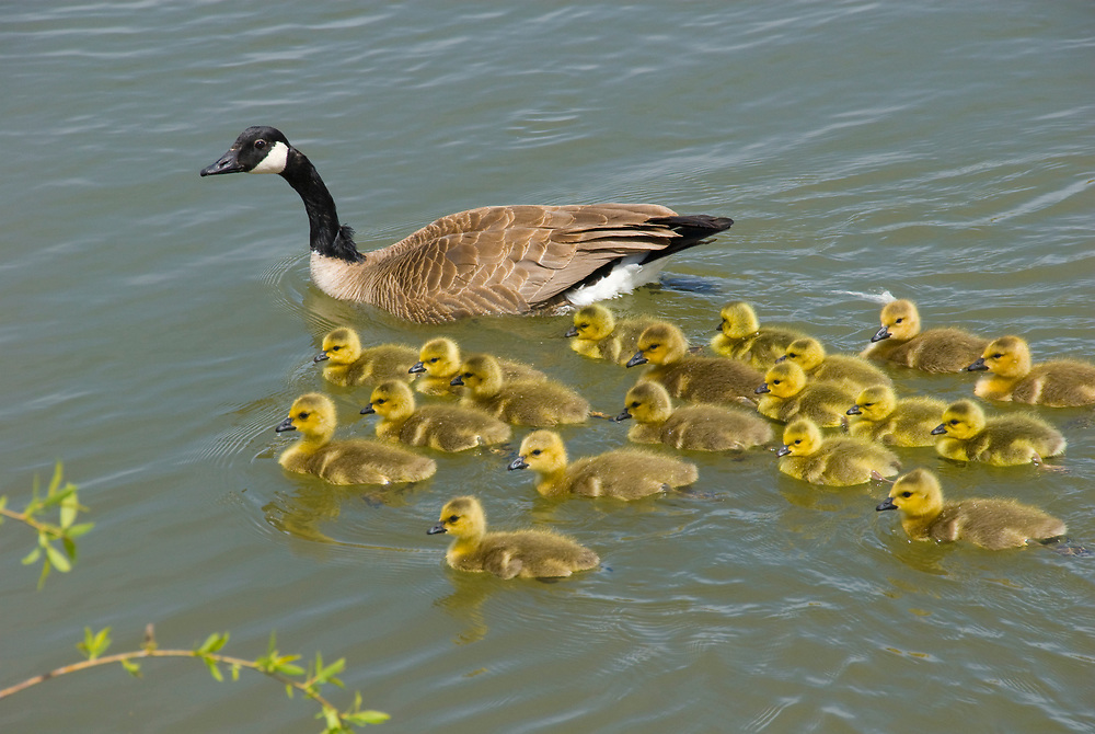 Canada geese often share babysitting turns with several families. Division of labor -goose style. Note the different age group goslings