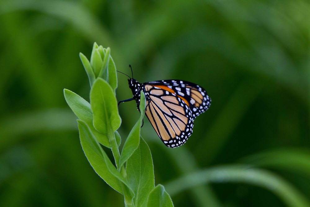 ICF_Prairie.-A Monarch Butterfly in the prairie. The International Crane Foundation's (ICF) mission is to conserve cranes and the ecosystems, or landscapes, on which they depend. In 1980 ICF began restoring native prairie, savanna, wetland, and woodland communities on the newly acquired 160 acre property north of Baraboo, Wisconsin.  The site now serves as an outdoor laboratory with over 100 acres of restored landscapes alongside another 60 acres of natural landscape, where the process of restoration can be explored and the lessons applied worldwide.