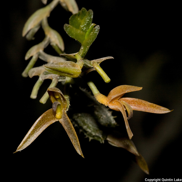 Pleurothallis erinacea, an orchid near the Interoceanic highway in Peru