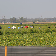 Strawberry fields and workers harvesting near Oxnard, California. USA