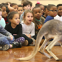 Lauren Wood | Buy at photos.djournal.com<br /> Kindergarten students react to a kangaroo walking by Thursday morning during an animals of the desert presentation by Bob Tarter with the Natural History Educational Company of the Midsouth at Carver Elementary School.