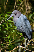 Little Blue Heron (Egret caerulean)