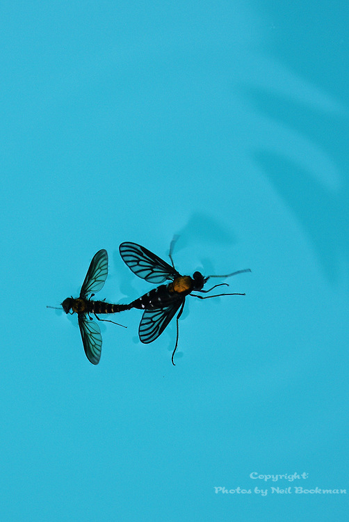 Two bugs getting busy while floating in my pool.