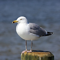 Herring Gull standing on a piling