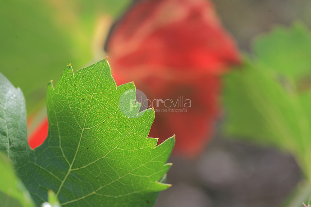Variedad garnacha tinta. Hojas. La Rioja ©Daniel Acevedo / PILAR REVILLA
