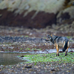 Coastal wolf is following the tideline looking for arriving salmon