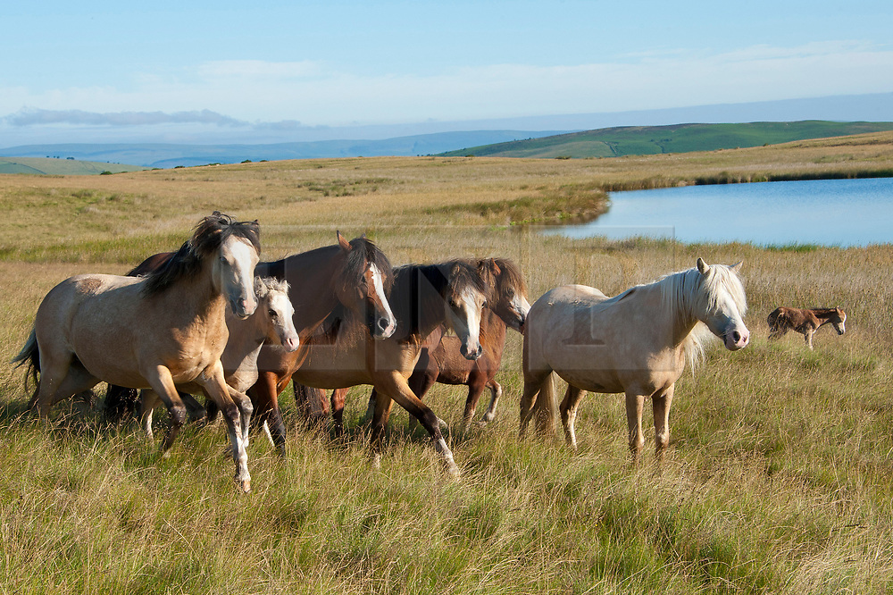 © Licensed to London News Pictures. 05/07/2017. Mynydd Epynt, Powys, Wales, UK. Welsh ponies and foals are seen on a fine summer morning on the moorland of the Mynydd Epynt range between Builth Wells and Brecon in Powys, Wales, UK. Photo credit: Graham M. Lawrence/LNP