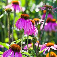 Kims Knee High Purple Coneflower (Echinacea 'Kims Knee High')