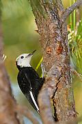 White-headed woodpecker, Yosemite National Park, California