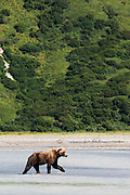 USA, Katmai National Park (AK).Brown bear (Ursus arctos) in its environment