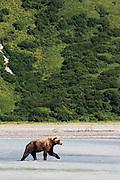 USA, Katmai National Park (AK).Brown bear (Ursus arctos) in its environment