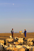 GOBI DESERT, MONGOLIA..08/29/2001.Tzochorinam, gers belonging to the family of wealthy camel herder and local hero Chimiddorj (l.). Chimiddorj's wife Maamhu helps selecting sheep to be slaughtered in honour of guests..(Photo by Heimo Aga).