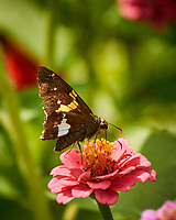 Silver-spotted Skipper Butterfly. Image taken with a Nikon 1 V3 camera and 70-300 mm VR lens