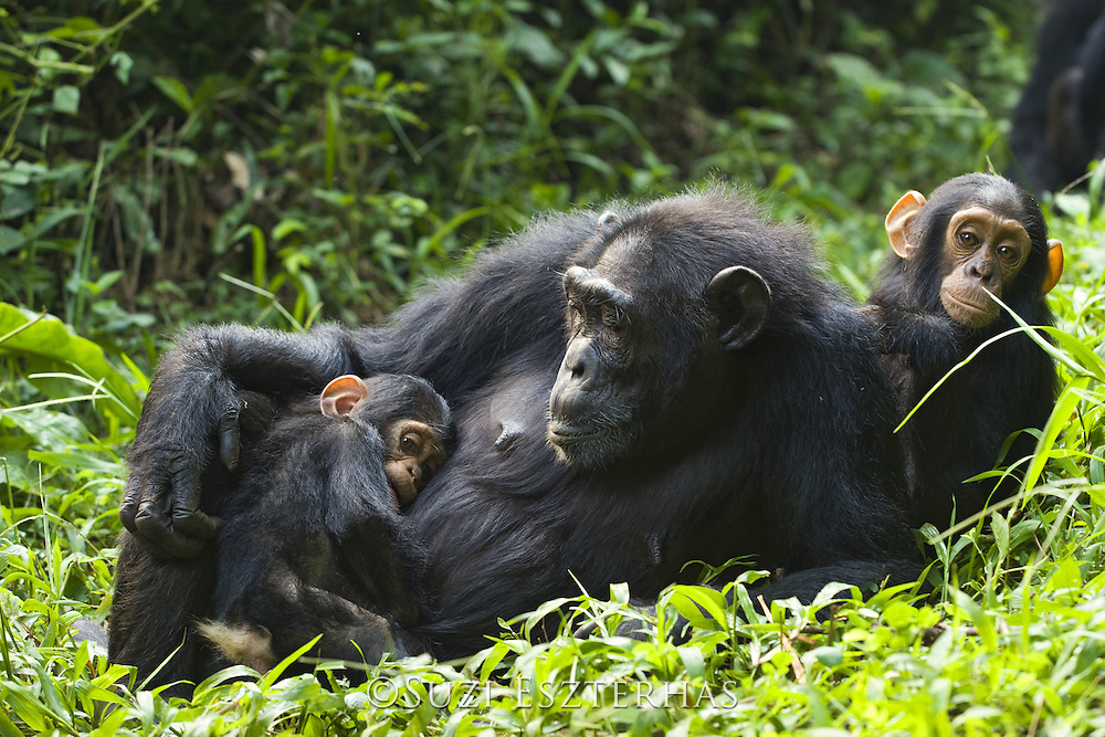 Chimpanzee<br /> Pan troglodytes<br /> Mother resting with 4 month old infant (older baby from other mother to the side) <br /> Tropical forest, Western Uganda