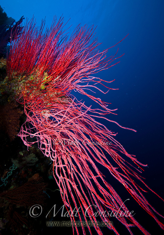 Red coral against the deep blue of the open water, Palau Micronesia. (Photo by Matt Considine - Images of Asia Collection)