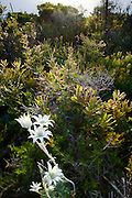 Flannel Flower (Actinotus helianthi),native to Australia