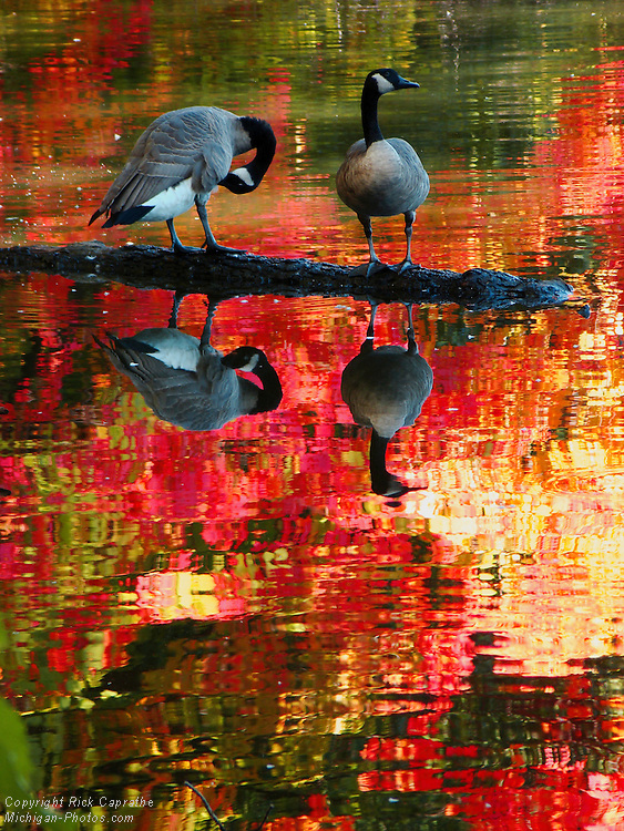 Geese with Autumn Reflections in Pond