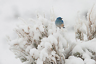 Mountain bluebirds are migratory, spending winters as far south as central Mexico. They begin returning to the Greater Yellowstone Ecosystem in March and usually have to weather a snowstorm or two upon arrival.