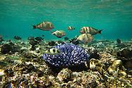 Fish swimming among coral. Uleveo, Maskelyne Island, Malampa Province, Malekula, Vanuatu