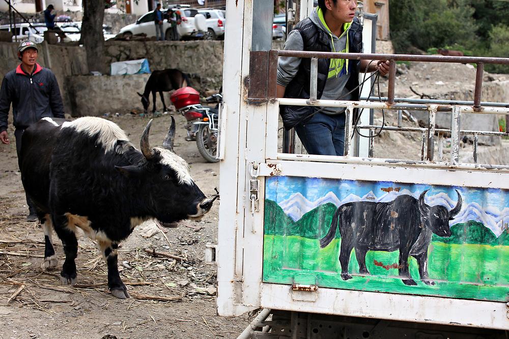 Loading a yak for sale at Xidang Spring, Yunnan, China; September, 2013.