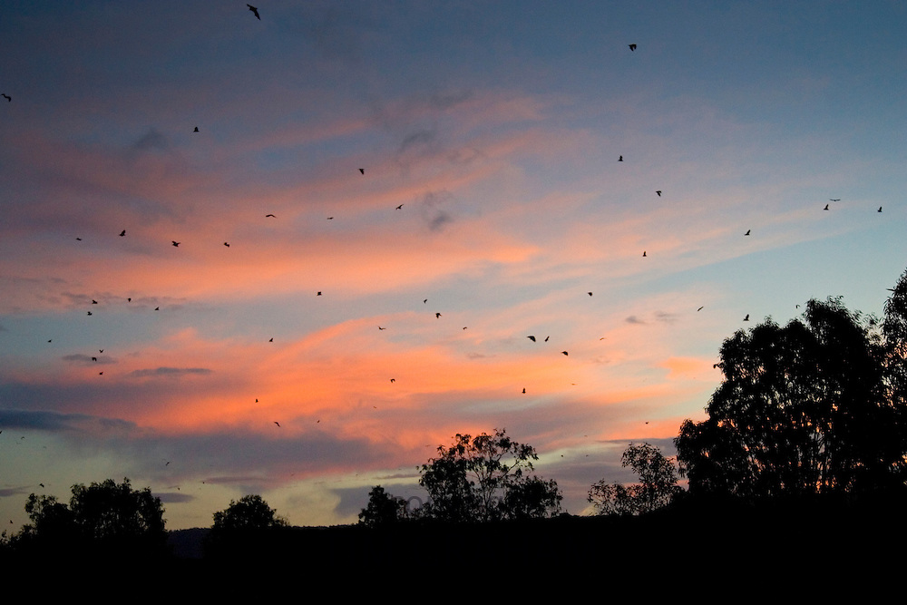 Colony of Flying Fox Bats, Port Douglas, Queensland, Australia