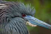 Headshot of tricolored heron in breeding plumage
