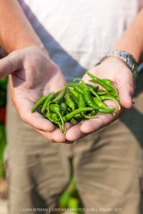A handful of hot peppers from the Sunshine Organic Market Garden