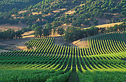 Del Rio Vineyards and oak tree covered hills; Rogue Valley, Oregon.