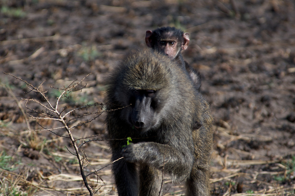 A young baboon hitches a ride on mom's back.