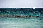 A school of White Mullet, Mugil curema, surfs a wave offshore Palm Beach County, Florida, United States, during the annual fall mullet migration.