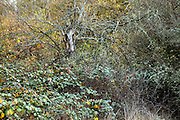 old tree being overgrown with scrub during autumn season