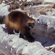 Wolverine, (Gulo gulo) Adult walking across fallen log. Winter. Rocky mountains. Montana.  Captive Animal.