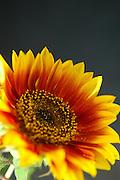 Yellow and Orange Gerber