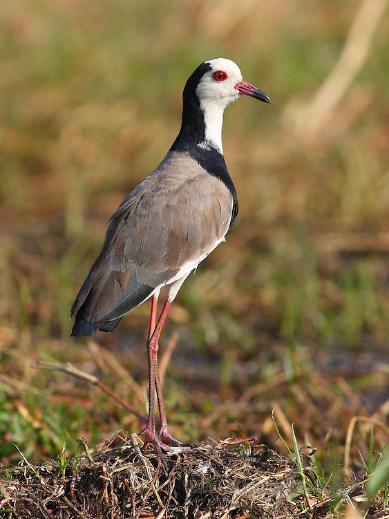 Long-toed Lapwing, Vanellus crassirostris, Botswana, by Markus Lilje