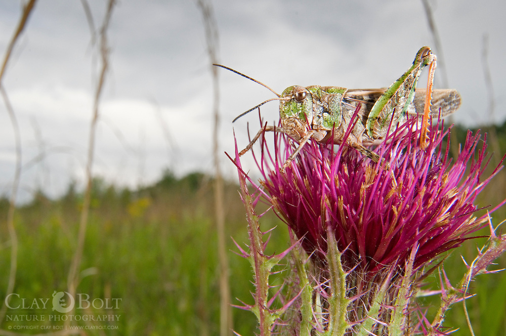 A grasshopper (Family Acrididae, sp?) rests on a Milk Thistle in Pickens, South Carolina.