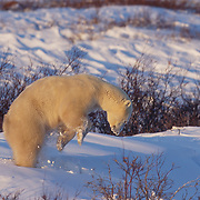 Polar bear pouncing on the snow for an unknown reason. Hudson Bay, Canada