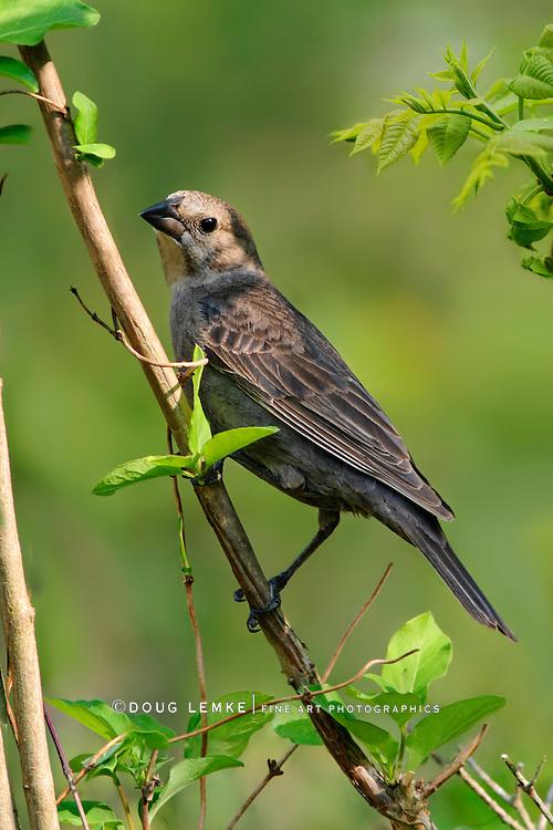 A Bird, The Brown Headed Cowbird Female, Molothrus ater
