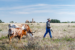 Will Cradduck, Herd Manager, feeding Texas longhorns from Official State of Texas Longhorn Herd, Fort Griffin State Historic Site, Albany, Texas USA.